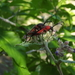 Deltaspis cruentus - Photo (c) Jose Luis Leon de la Luz, some rights reserved (CC BY-NC)