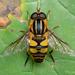 Narrow-headed Marsh Fly - Photo (c) Thomas Shahan, some rights reserved (CC BY-NC)