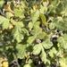 Zumaque - Photo (c) privera5, algunos derechos reservados (CC BY-NC)