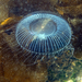 Victoria's Crystal Jelly - Photo (c) Karolle Wall, some rights reserved (CC BY-NC)