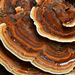 Dyer's Polypore - Photo (c) Christian Schwarz, some rights reserved (CC BY-NC)