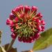 Trifolium reflexum - Photo (c) Mike Dillon,  זכויות יוצרים חלקיות (CC BY-NC)