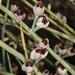 Ephedra nevadensis - Photo (c) matsonburger,  זכויות יוצרים חלקיות (CC BY-NC)
