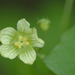 White Bryony - Photo (c) AnneTanne, some rights reserved (CC BY-NC-SA)