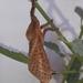 Alloaepytus tesselloides - Photo (c) Patricio A. Mantinian, alguns direitos reservados (CC BY-NC)