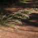 Oloptum miliaceum - Photo (c) Sarah Gregg, algunos derechos reservados (CC BY-NC-SA)