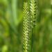 Cynosurus cristatus - Photo (c) bathyporeia, μερικά δικαιώματα διατηρούνται (CC BY-NC-ND)