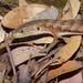 Elgaria coerulea shastensis - Photo (c) Franco Folini,  זכויות יוצרים חלקיות (CC BY)