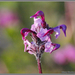 Ducksbill Lousewort - Photo (c) Alison Sheehey, some rights reserved (CC BY-NC-ND), uploaded by Nature Ali