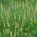 African River Grass - Photo (c) fcmartin, some rights reserved (CC BY-NC)