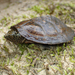 Flattened Musk Turtle - Photo (c) John P. Friel Ph.D., some rights reserved (CC BY)