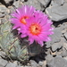 Echinocactus horizonthalonius horizonthalonius - Photo (c) Guadalupe CR, some rights reserved (CC BY-NC)