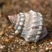 Nodilittorina pyramidalis - Photo (c) Kaitlyn, algunos derechos reservados (CC BY-NC)