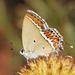 Heliophorus sena - Photo (c) Shriram Bhakare, algunos derechos reservados (CC BY-NC)
