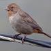 Rascador Californiano - Photo (c) Lucina M, algunos derechos reservados (CC BY-NC)