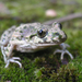 Common Parsley Frog - Photo (c) Auréles Miralien, some rights reserved (CC BY-NC-ND)