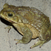 Argentine Toad - Photo (c) Auréles Miralien, some rights reserved (CC BY-NC-ND)