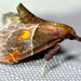 Long-snouted Penthesilea Moth - Photo (c) Christian Schwarz, some rights reserved (CC BY-NC)
