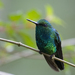 Western Emerald - Photo (c) Laura Gooch, some rights reserved (CC BY-NC-ND)