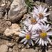 Townsendia exscapa - Photo (c) Patrick Alexander, algunos derechos reservados (CC BY-NC-ND)