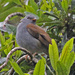 Andean Solitaire - Photo (c) Jerry Oldenettel, some rights reserved (CC BY-NC-SA)