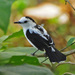 Pied Water-Tyrant - Photo (c) Jerry Oldenettel, some rights reserved (CC BY-NC-SA)
