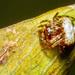 Gnolus angulifrons - Photo (c) MatiasG, algunos derechos reservados (CC BY-NC)