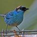 Tangara Nuquidorada - Photo (c) Jerry Oldenettel, algunos derechos reservados (CC BY-NC-SA)