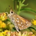 Hesperia comma - Photo (c) Denis Doucet,  זכויות יוצרים חלקיות (CC BY-NC)