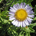 Erigeron glaucus - Photo (c) c_michael_hogan,  זכויות יוצרים חלקיות (CC BY-NC), uploaded by c michael hogan