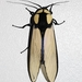 Machaeraptenus ventralis - Photo (c) Ferhat Gundogdu, some rights reserved (CC BY-NC)