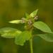 Galeopsis - Photo (c) AnneTanne, algunos derechos reservados (CC BY-NC)