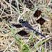 Rayadoras Pequeñas - Photo (c) Greg Lasley, algunos derechos reservados (CC BY-NC)