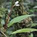 Monolena trichopoda - Photo (c) ramon_d, algunos derechos reservados (CC BY-NC)