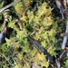 Sphagnum miyabeanum - Photo (c) Matt Unitis, μερικά δικαιώματα διατηρούνται (CC BY-NC)