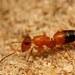 Strobe Ants - Photo (c) Ajay Narendra, some rights reserved (CC BY-NC-SA)