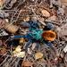 Tarántula Cobalto de la Sierra Tarahumara - Photo (c) rejoy007, algunos derechos reservados (CC BY-NC)