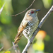 Little Bronze-Cuckoo - Photo (c) Jenny Donald, some rights reserved (CC BY-NC)