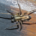 Buzzing Spider - Photo (c) Marcello Consolo, some rights reserved (CC BY-NC-SA)