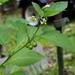 Solanum ptychanthum - Photo (c) Michael Skvarla, algunos derechos reservados (CC BY-NC-SA)