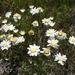 Solidago ptarmicoides - Photo (c) Joe Bartok,  זכויות יוצרים חלקיות (CC BY-NC)