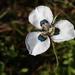 Moraea villosa villosa - Photo (c) John Gale,  זכויות יוצרים חלקיות (CC BY-NC)