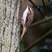 Eurasian Treecreeper - Photo (c) Nik Borrow, some rights reserved (CC BY-NC)