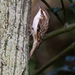 Eurasian Treecreeper - Photo (c) Nik Borrow, some rights reserved (CC BY-NC)