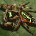 Araña Saltarina Verde-Dorada - Photo (c) David Hill, algunos derechos reservados (CC BY)
