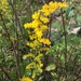 Field Goldenrod - Photo (c) seabrookeleckie, some rights reserved (CC BY-NC)