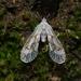 Anotia caliginosa - Photo (c) James Bailey, algunos derechos reservados (CC BY-NC)