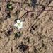 Spergula morisonii - Photo (c) ru_bri, μερικά δικαιώματα διατηρούνται (CC BY-NC-ND)