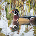 Wood Duck - Photo (c) bwood708, some rights reserved (CC BY-NC)