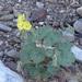 Chylismia cardiophylla - Photo (c) ryanubrown, algunos derechos reservados (CC BY-NC-ND), uploaded by Ryan Brown